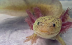 An axolotl swims in a tank in the home of senior columnist Nicole Miguez. According to Miguez, axolotls are a