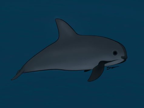 With fewer than 20 remaining in the wild, the vaquita porpoise is now the most endangered marine mammal on Earth. The vaquita became a critically endangered species as of 1995. All attempts at capturing them and breeding them in captivity failed, further endangering the rare porpoise. For more information, read the attached column, written by Nicole Miguez.