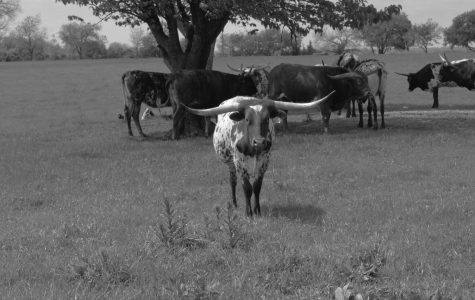 During a time of social distancing with her father in Celina on April 5, photojournalism student Cate Emma Warren catches a shot of one of Rex Glendenning's longhorns doing the same by moving away from the herd.  According to the Glendenning Farms website, Rex and Sherese Glendenning began breeding Texas Longhorn cattle in 1986.
