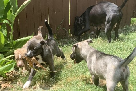 "Puppies play outside in the summer heat during quarantine. Pictured left to right is Bear, Apollo, Athena, and the mom Luna, who are around 9 weeks. ""This experience has been amazing."" columnist junior Alyssa Clark said. ""But, it"